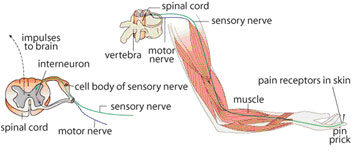 Quick quiz this diagram shows what happens in a reflex arc identify the situation where a reflex arc would occur ccuart Choice Image