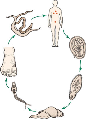 Review questions this diagram shows the lifecycle of a blood fluke identify which of the following statements is true ccuart Images