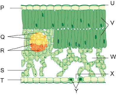 plant systems by livingston biodidac leaf diagram label this diagram shows a cross section of a leaf identify the label that corresponds to the palisade cells