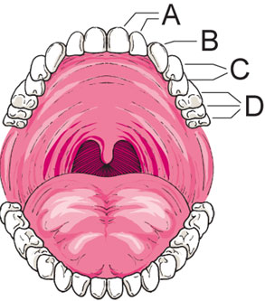 Body systems in this diagram of the human mouth identify the label representing the canine teeth ccuart Images